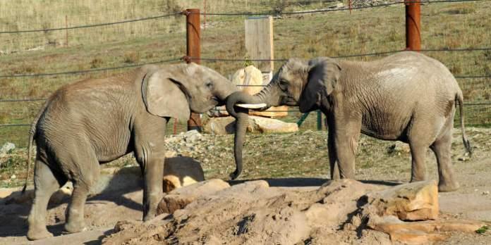 Elefantennachwuchs in Sicht