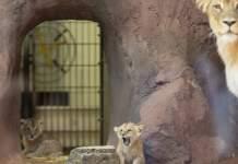 Löwennachwuchs im Zoopark für Besucher zu sehen