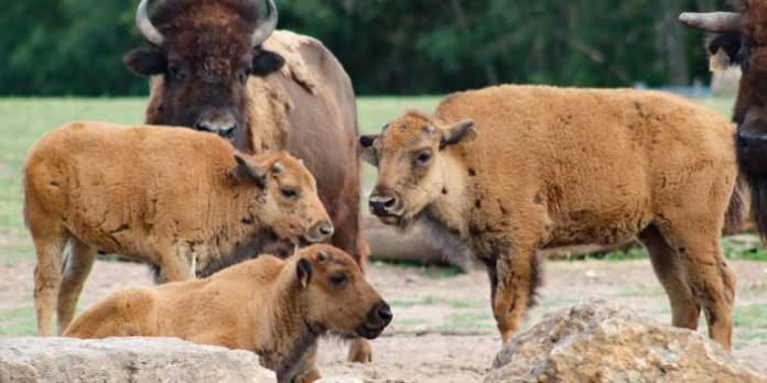 Bison-Kuh und drei Kälbchen stehen im Gehege