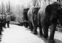 Drei Elefanten hintereinander beim Spaziergang. Menschen stehen am Straßenrand.