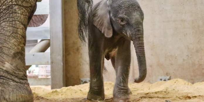 Ein weibliches Elefantenjungtier steht bei ihrer Mutter