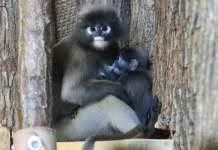 Eine Affenmutter säugt ihr Jungtier