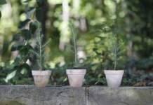 drei kleine Fichtenbäumchen im Tontopf