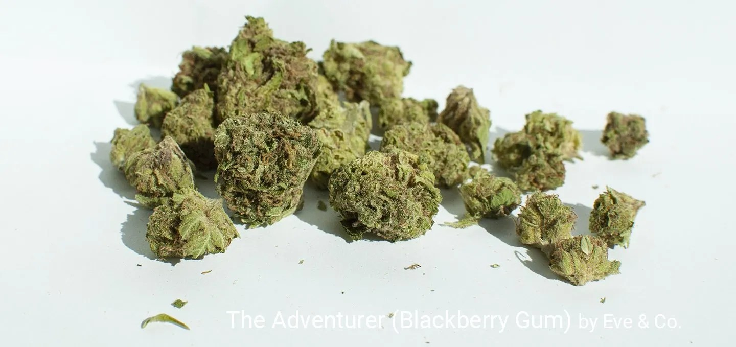 16.69% THC The Adventurer (Blackberry Gum) by Eve & Co.