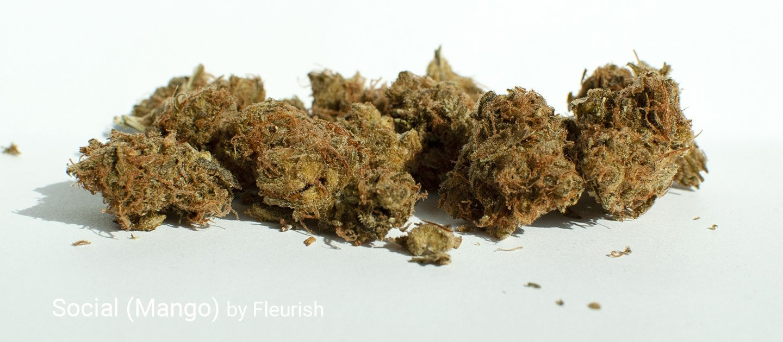 18.09% THC Social aka Mango by Fleurish