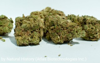 20.2% THC 2.4% Terpenes Zour Apples by Natural History