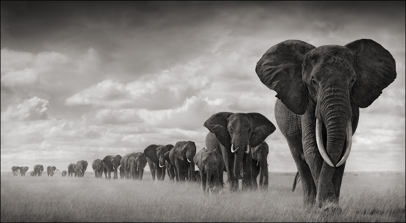 https://i0.wp.com/www.pug.no/wp-content/gallery/nick-brandt/elephants-walking-through-grass.jpg
