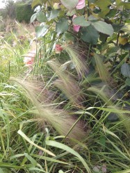 Summer-squirrel-tail-grass