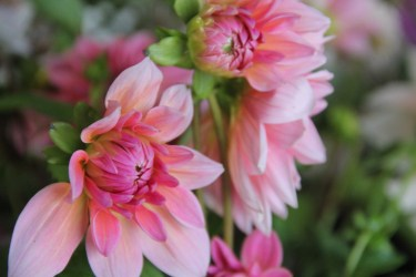 Autumn-dahlia-close-up