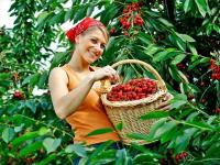 offerta di lavoro per addetti raccolta di ciliege