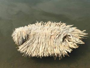 Puli Fell auf dem Wasser