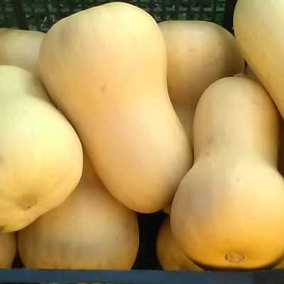 zucca butternut - pulmino contadino