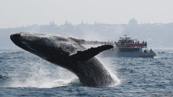 A humpback whale breaching (source - BBC News)