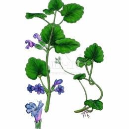 Bluszczyk kurdybanek (Glechoma hederacea)
