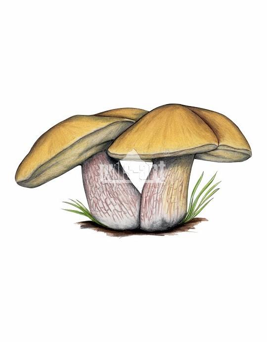 Borowik ponury (Suillellus luridus)