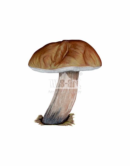 Borowik szlachetny (Boletus edulis)