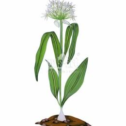 Czosnek niedźwiedzi (Allium ursinum)