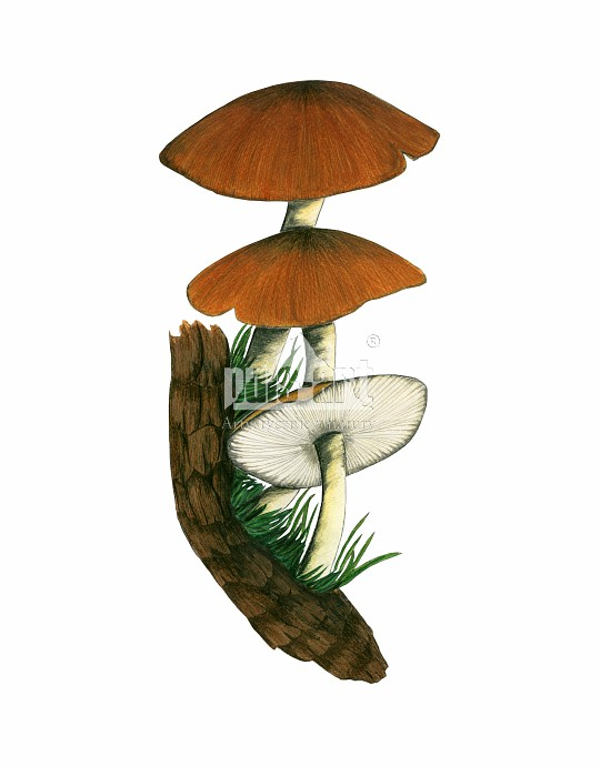 Drobnołuszczak żółtonogi (Pluteus romellii)