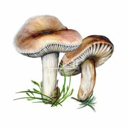 Gołąbek wyborny (Russula vesca)