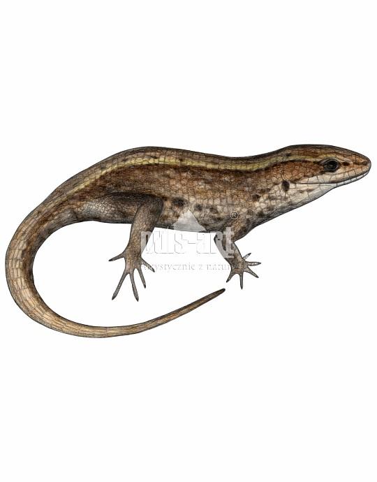 Jaszczurka żyworodna (Zootoca vivipara)
