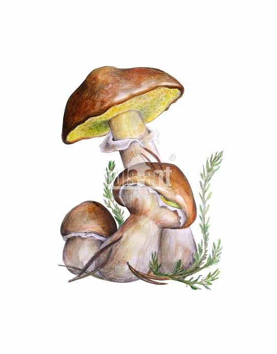 Maślak zwyczajny (Suillus luteus)