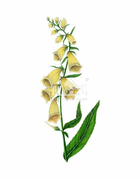Naparstnica zwyczajna (Digitalis grandiflora) - lecznicze