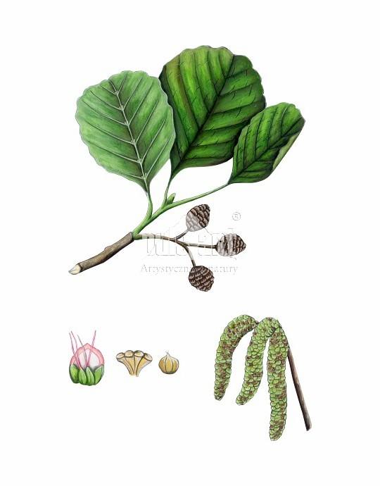 Olsza czarna (Alnus glutinosa)