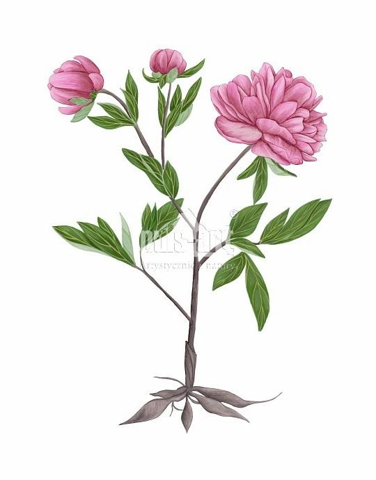 Piwonia (Paeonia)