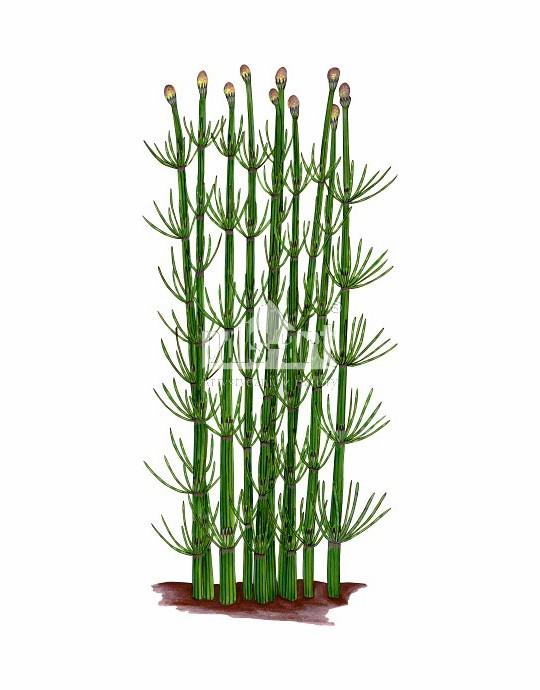 Skrzyp bagienny (Equisetum fluviatile)