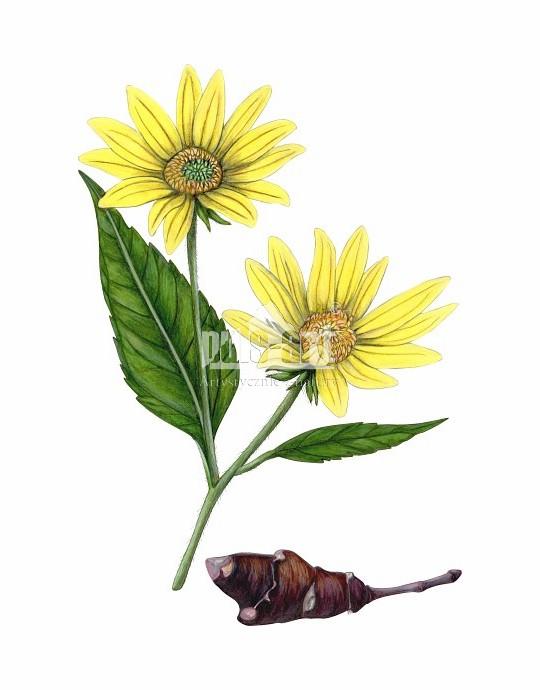 Słonecznik bulwiasty (Helianthus tuberosus)