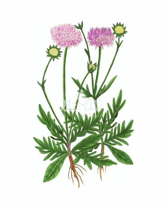 Świerzbnica polna (Knautia arvensis)