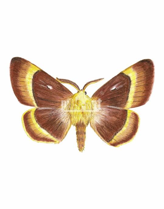 Barczatka dębówka (Lasiocampa quercus)