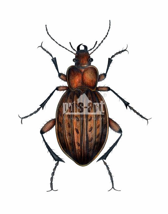 Biegacz wręgaty (Carabus cancellatus)