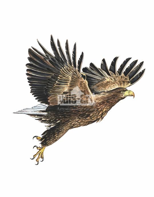 Bielik zwyczajny (Haliaeetus albicilla)