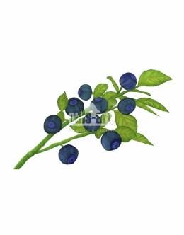 Borówka czarna (Vaccinium myrtillus)