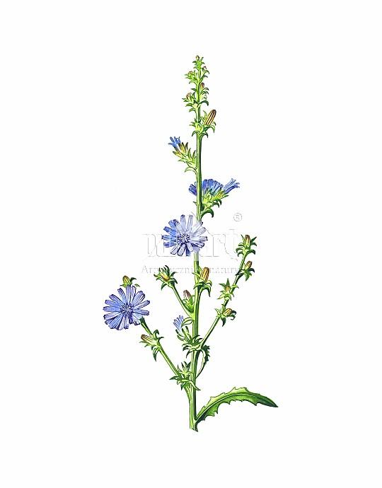 Cykoria podróżnik (Cichorium intybus)