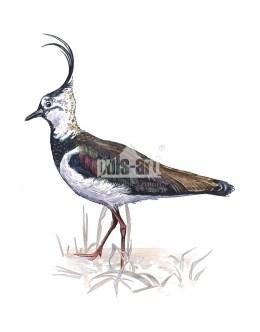 Czajka zwyczajna (Vanellus vanellus)