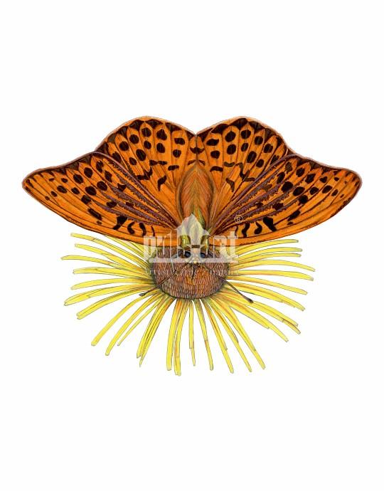 Dostojka malinowiec (Argynnis paphia)