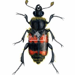 Grabarz pospolity (Nicrophorus vespillo)