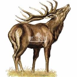 Jeleń szlachetny (Cervus elaphus)