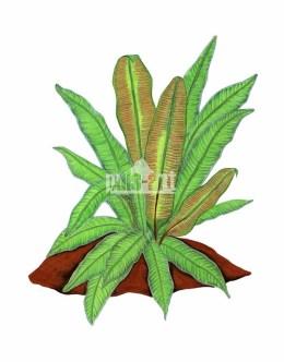 Języcznik zwyczajny (Phyllitis scolopendrium)