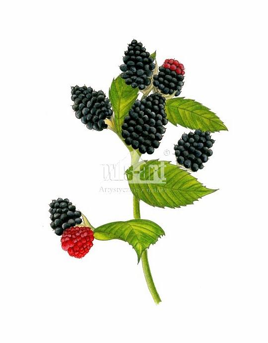 Jeżyna fałdowana (Rubus plicatus)