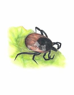 Kleszcz pospolity (Ixodes ricinus)