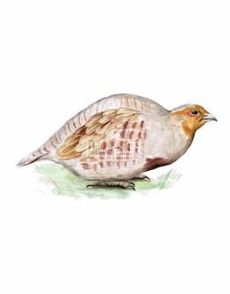 Kuropatwa zwyczajna (Perdix perdix)