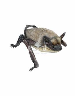 Mroczek pozłocisty (Eptesicus nilssonii)