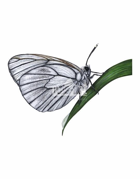 Niestrzęp głogowiec (Aporia crataegi)