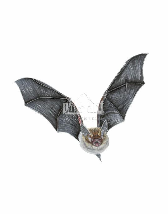Nocek Bechsteina (Myotis bechsteinii)
