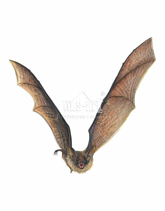 Nocek duży (Myotis myotis)