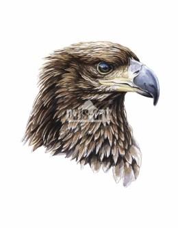 Orzeł przedni (Aquila chrysaetos)