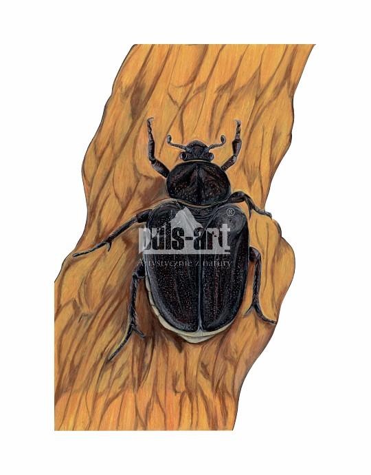 Pachnica dębowa (Osmoderma eremita)